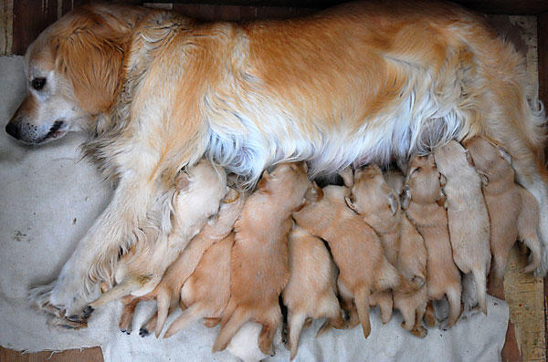 dog feeds some of her 15 puppies in huai an china the dog gave